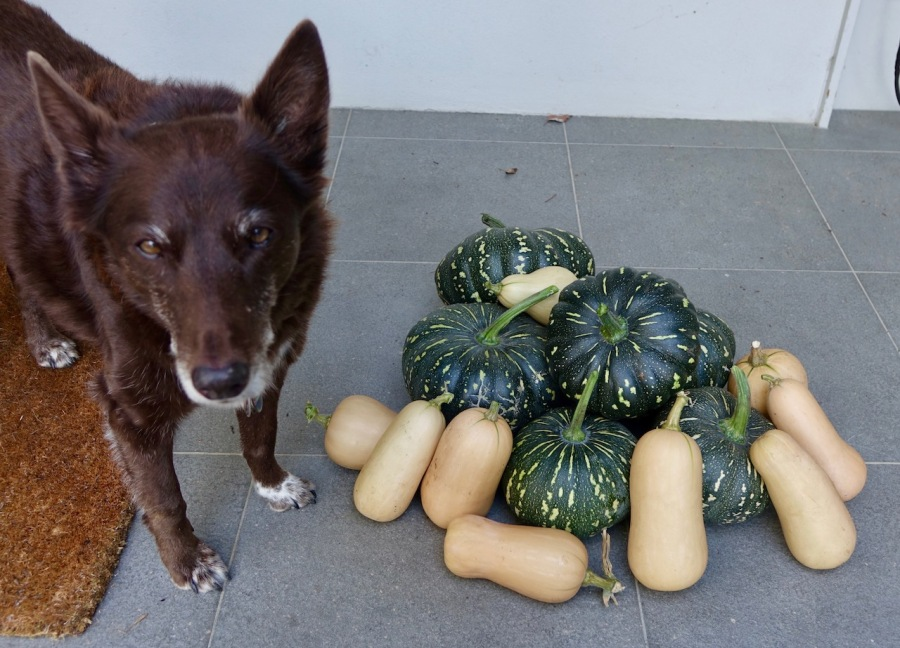Old brown kelpie standing next to a pile of japla and butternut pumpkins