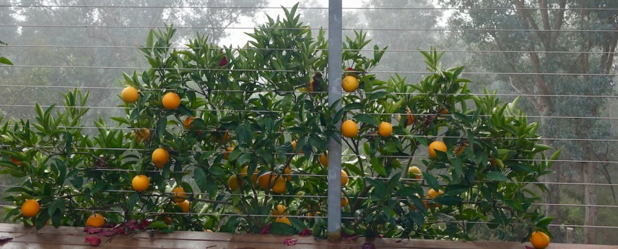 Espaliered oranges