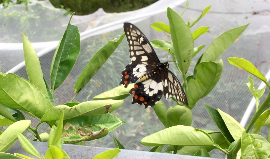 Dainty Swallowtail Butterfly on grapefruit leaves