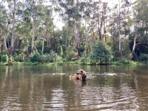 staghound dog staning in the Yarra river. River bank behind shows tall eucalypts and greenery